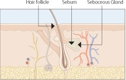 Hair follicle and sebaceous gland